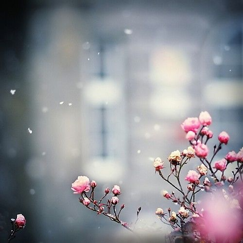 NicePhotos, Cherries Blossoms, Rose, Pink Flowers, Nature, Winter Photography, Beautiful, Snowflakes, Cherry Blossoms