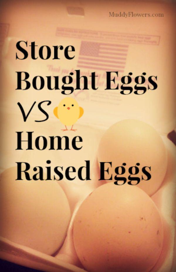 store bought eggs vs home raised eggs cover