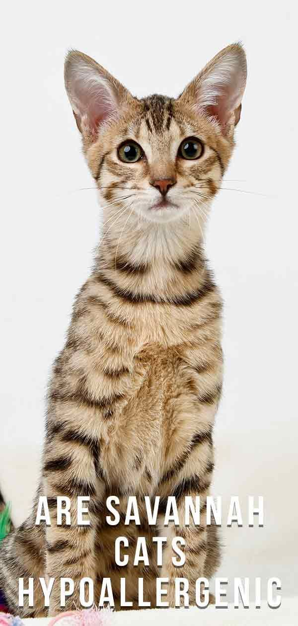 Are Savannah Cats Hypoallergenic The Search For A None Shedding