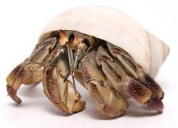 17 Best Images About Hermit Crab On Pinterest Crabs