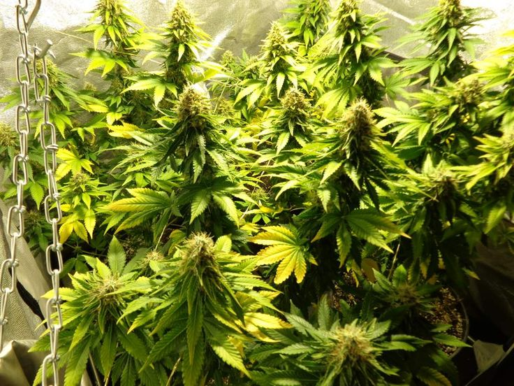 Blue Berry Female Cannabis Seeds week 8 12/12. Genotype: (Chocolate Thai x Afghani #1 x Highland Oaxaca) x NL Special.
