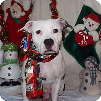 Valparaiso, IN - American Bulldog/Pit Bull Terrier Mix. Meet Kutie, a dog for adoption. http://www.adoptapet.com/pet/17135641-valparaiso-indiana-american-bulldog-mix