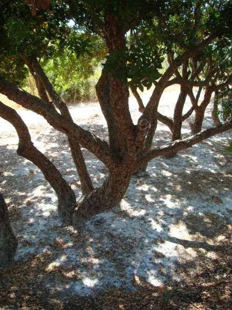 Mastic trees,Chios island,Greece only grown here