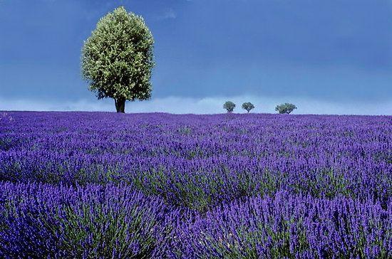 Lavander Fields, Provance, France