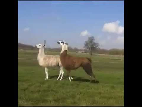 Llama bouncing to DMX. OH.MY.GOD. I didn't think I could laugh so much in six seconds.