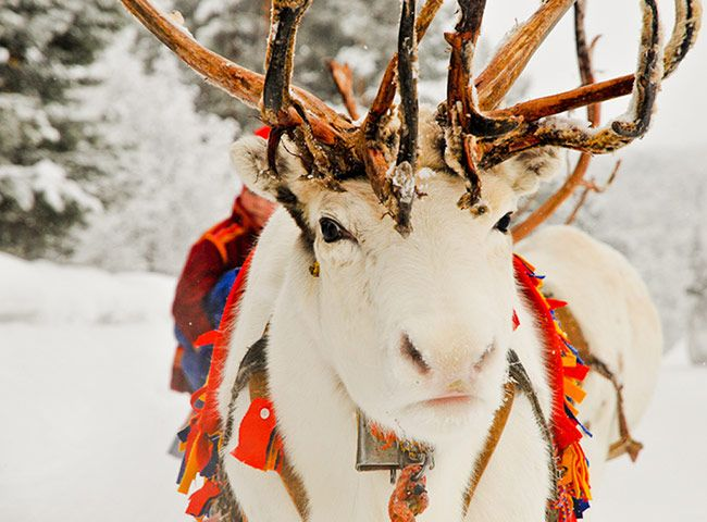 Every February, the small town of Jokkmokk in Swedish Lapland hosts the 400-year-old winter market of the indigenous Sámi people, with folk dancing, reindeer races and traditional food