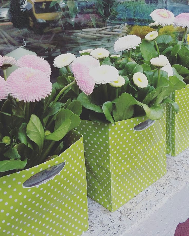 #stokrotki #bellis #wiosna #kwiaty #flowers #kwiaciarnia #kwiaciarniaszczecin #szczecin #flowergfits #flowerbox #gifts #ester #flowershop #kwiciarnia #zielonamoda #kwiatydoniczkowe #szczecin