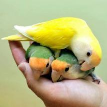 Birds in the hand,,   lovebirds