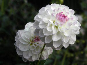 Preciosas flores blancas con el centro rosa