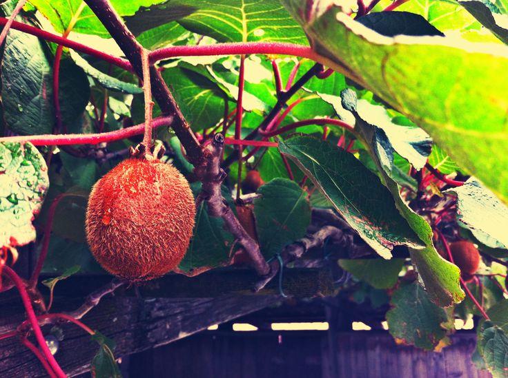 Kiwi fruit #raindrop