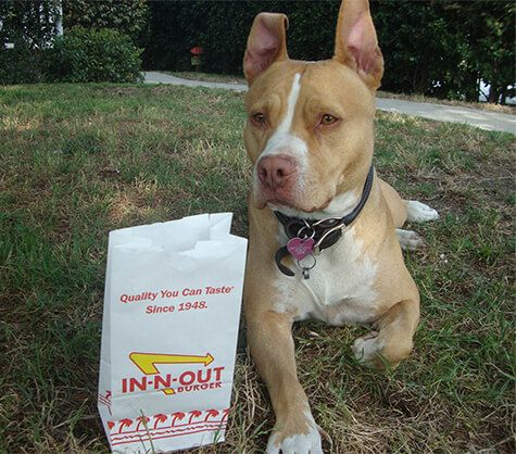 Sweet and loving Pit Bull Ivy Ivy carries on Woofie's In-N-Out 4th of July burger tradition. | KOTAW Content Marketing