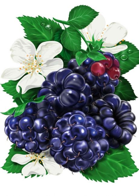 Blackberries,  Illustration by Inorama
