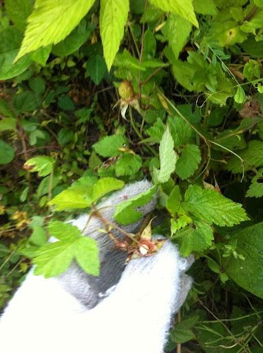5/28 - 野いちごはちっこい葉っぱでかわいい