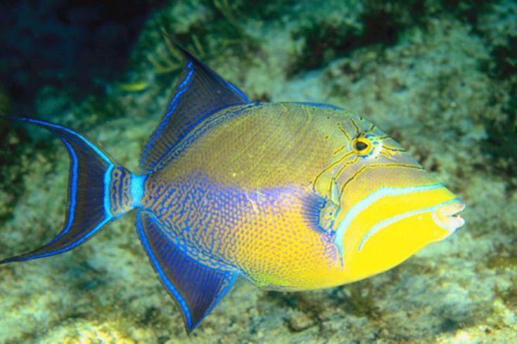 Cómo cocinar el pez ballesta fresco. El pez ballesta (triggerfish) es una especie que vive cerca de los arrecifes coralinos de las zonas tropicales. Toman su nombre de la manera en que traban la espina de sus aletas dorsales cuando se alarman. Puedes encontrarlo ocasionalmente fresco en el mercado ...