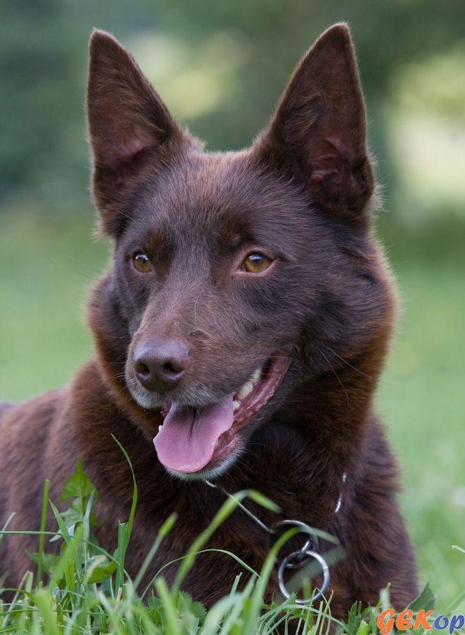 Afbeeldingsresultaat voor middelgrote hondenrassen overzicht