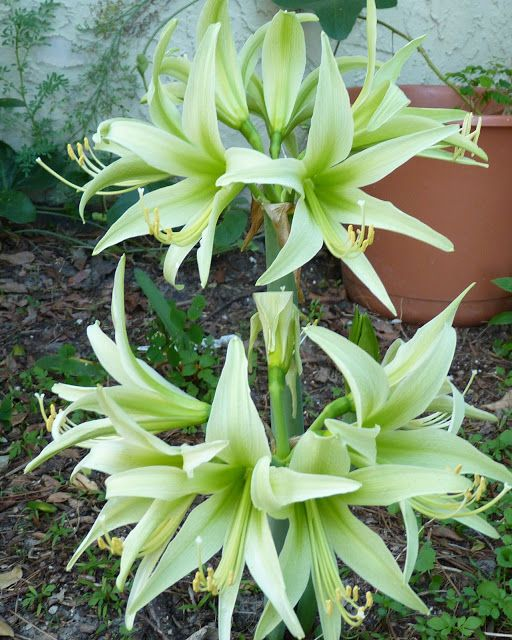 Do you love green-flowered plants?Birds & Blooms blogger Jill is growing 'Evergreen' Hippeastrum and has a list of some other green favorites over on the blog. Drop by and add your own suggestions!