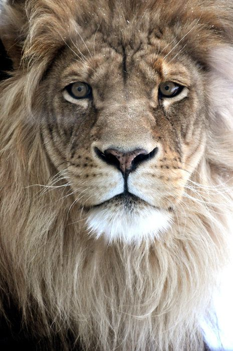 : Big Cat, Wild,  King Of Beasts, Beautiful, Creatures,  Panthera Leo, Lion King, Tattoo, Animal