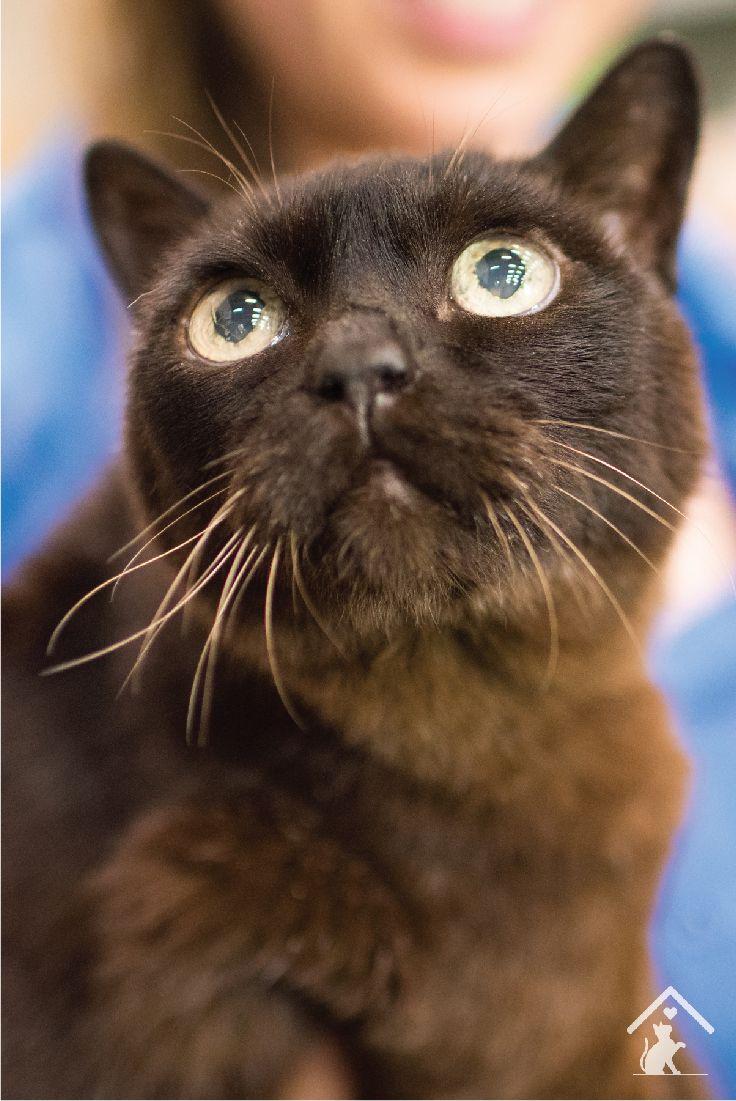 488 best burmese cat images on pinterest burmese cats and