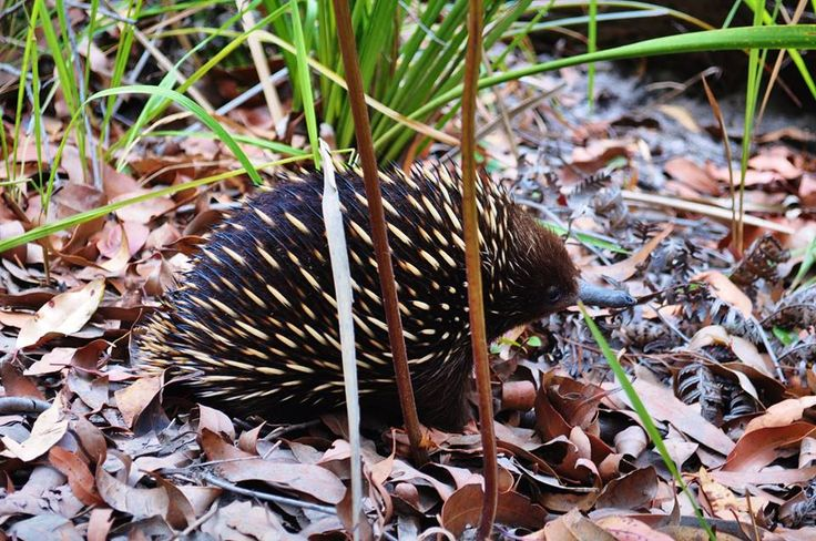 Rebina has been at it again! We love your photos, Reb! She's captured some fantastic shots of a local #Echidna ... What shall we name him/her??