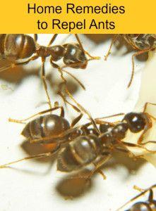 Mieren na 2 dagen weg als u knoflooktenen of kaneelpijpjes op hun loop liggen