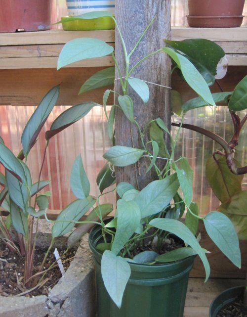 Epipremnum pinnatum 'Cebu Blue Pothos' varietal