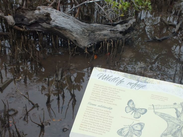 Weyba creek mangroves boardwalk only takes 5 mins to walk the loop, but stop & look, you will see a million things.