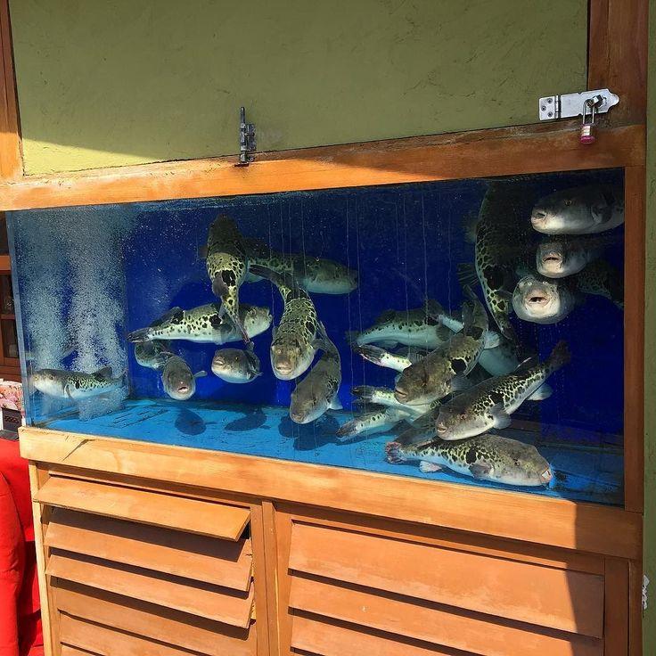 Рыба Фугу - загадочная и роковая - один из символов кулинарной Японии. Ее сезон -зима но в некоторых ресторанах фугу можно отведать круглый год. Знамениты: тэсса - сасими из фугу тэттири - уха из фугу. А еще во многих  рыбных ресторанах зимой подают горячее сакэ с плавниками фугу - хирэдзакэ. #рыбы #фугу #Япония #кулинария #сасими #суси #японскаякухня #зима #хирэдзакэ #рестораны #мишлен #аквариум #Токио #море