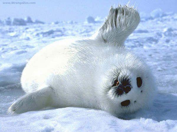 CUTE WHITE BABY SEAL - WAVING HELLO!