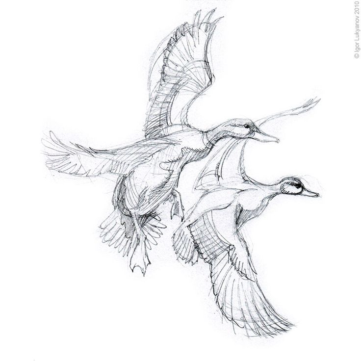 ducks unlimited coloring pages - photo#28