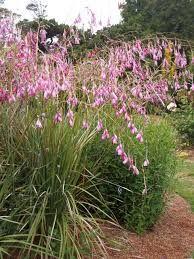Image result for dierama pulcherrimum