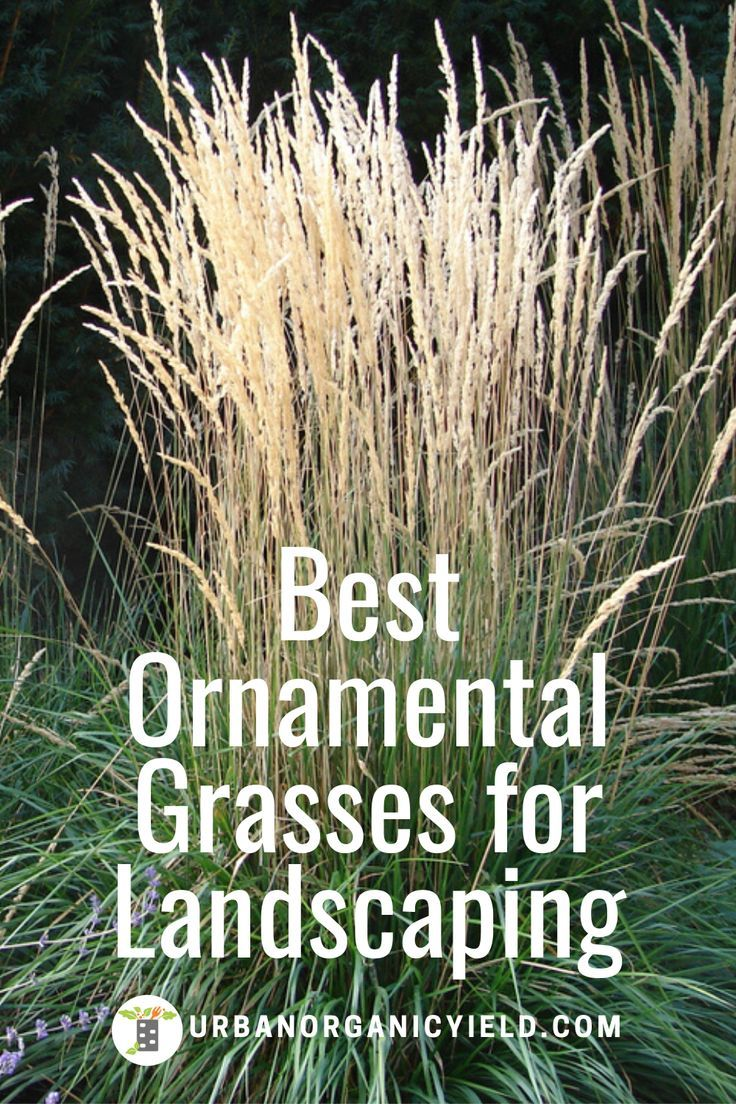 Best Ornamental Tall Grasses For Landscaping Shade Grass Ornamental Grasses For Shade Ornamental Grasses