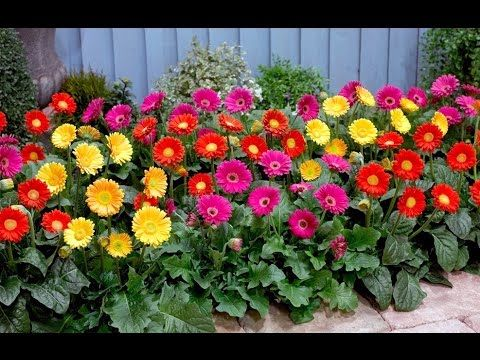 Beautiful and Gorgeous Gerbera Flowers Pictures