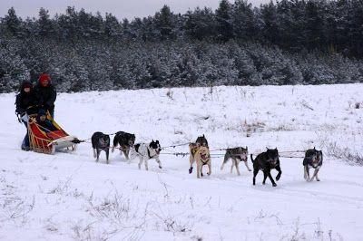 psi zaprzęg zimą