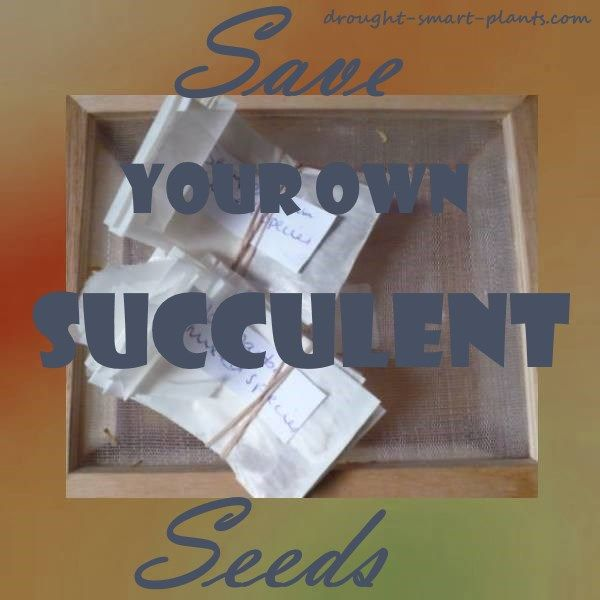 Saving Your Own Succulent Seeds - succulent plant propagation