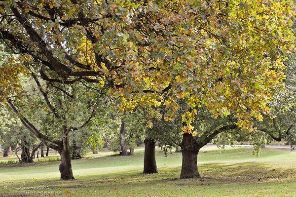 Lourensford Trees