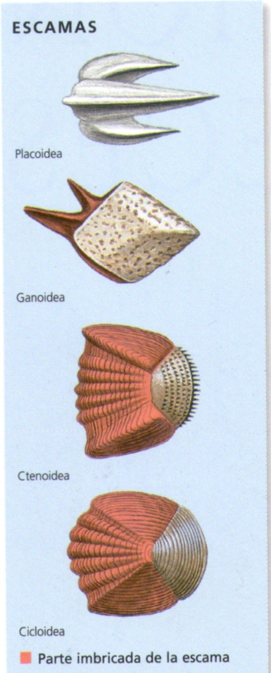 Escamas protectoras Existen 4 tipos de escamas de pez. Las placoideas, semejantes a dientes, son características de tiburones y rayas. Las ganoideas proporcionan una especie de coraza a esturiones y otros peces primitivos. Los peces oseos poseen escamas delgadas y duras, que se imbrican como tejas, y que pueden tener el borde libre serrado (ctenoideas) o liso (cicloideas).