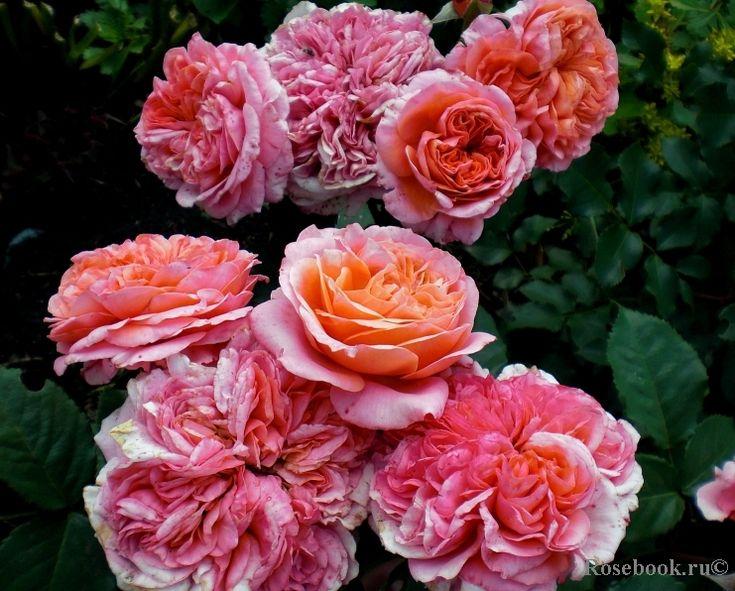 17 best images about roses on pinterest celebrations. Black Bedroom Furniture Sets. Home Design Ideas
