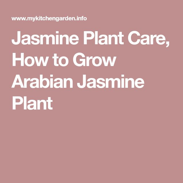 Jasmine Plant Care, How to Grow Arabian Jasmine Plant
