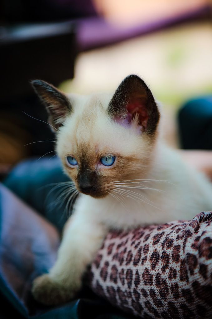 Best Siamese Cat Names Cat Names Siamese Cats Cats