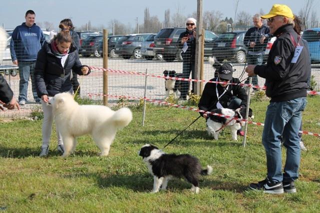 A baby border collie and Samoyed! / Cuccioli di border collie e samoied! Che belli!
