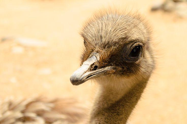 #Ñandú | #Parque #Zoológico Buin Zoo #Animal