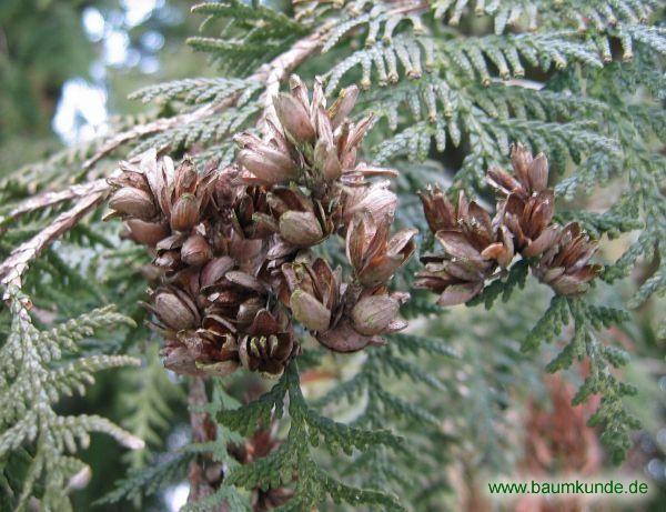 Riesen-Lebensbaum / Thuja plicata / Zapfen am Baum Familie: Cupressaceae