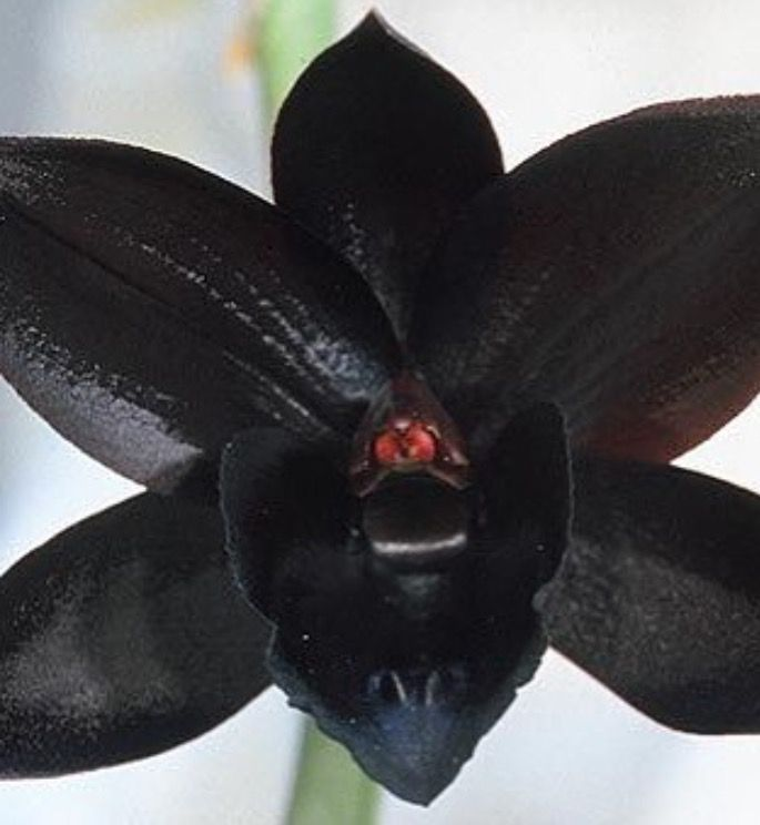 Black diamond orchid