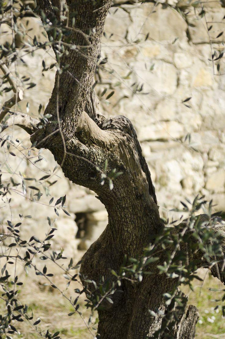 Olive Tree #Laudemio #EVOO #olive #oliveoil #Tuscany