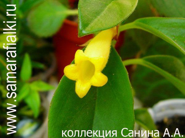 Nematanthus Lemon and Lime