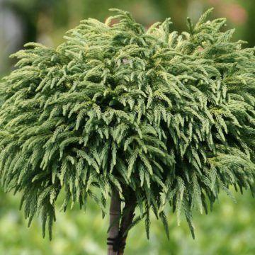 Kleine Sicheltanne - Cryptomeria japonica Globosa Nana günstig online kaufen
