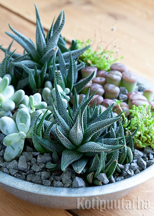 Tässä suloisessa asetelmassa kasvavat maksaruoholaji, aaloe 'Cosmo', pallerohärmälehti (Pachyphytum oviferum) ja kivikukka (Lithops). Lue vinkit viherkasvien hoitoon http://www.kotipuutarha.fi/puutarhavinkit/koristekasvit/viherkasvien-hoito.html