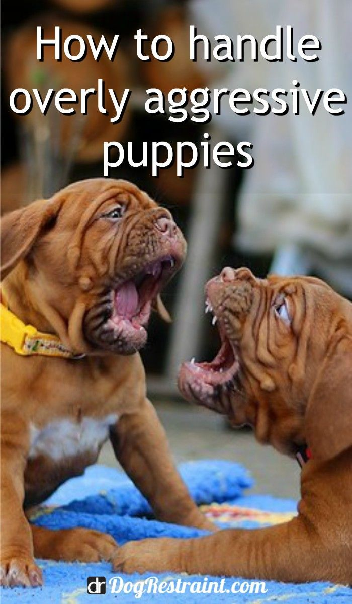 How To Stop Aggressive Behavior In Puppies Aggressive Dog Puppy