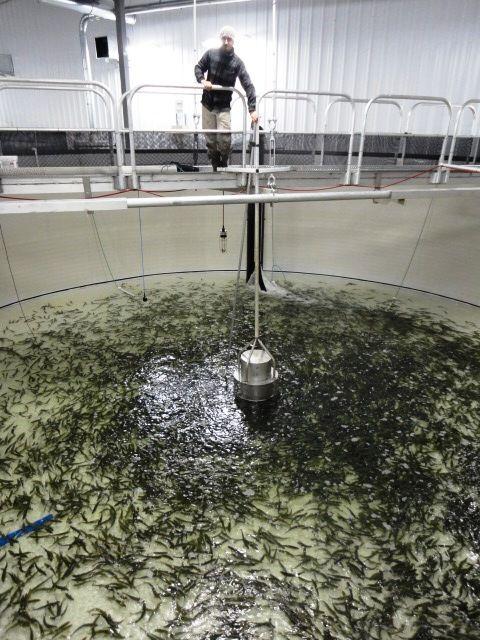 Fish farmer aquaculture fish rearing urban farming for Tilapia aquaponics