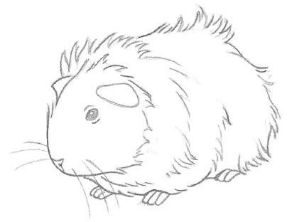how to draw a guinea pig for beginners